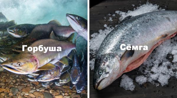 Какой бывает красная рыба: список названий и разновидностей, особенности видов семейства Осетровых и Лососевых