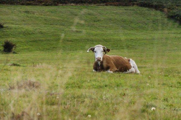 Эндометрит у коров симптомы лечение профилактика причины