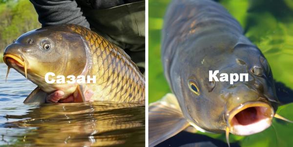 Рыба сазан: описание вида и повадки