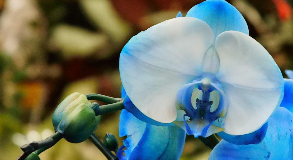 занимаетесь регулярно, фото орхидеи фаленопсис голубая как будто