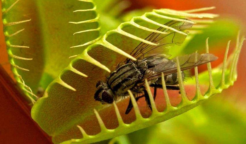Как в домашних условиях выращивать венерину мухоловку из семян?