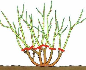 Схема обрезки роз