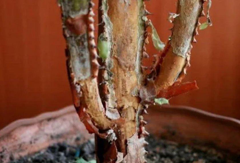 Сухие пятна на стеблях и листьях