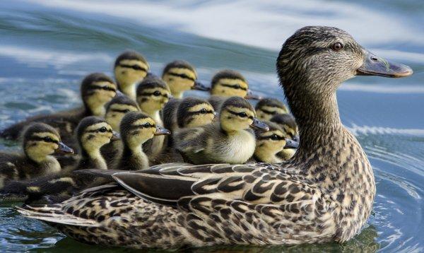 Сколько живут утки и от чего это зависит?