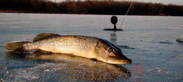Как правильно рыбачить на жерлицы зимой