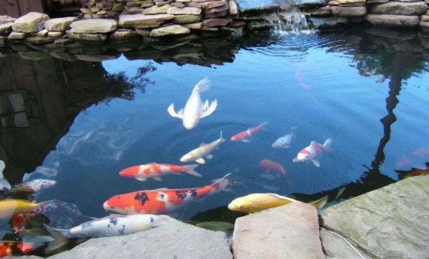 Рыба в искусственном пруду