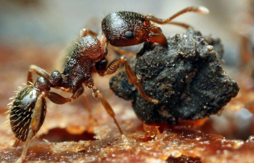 Дерновые муравьи