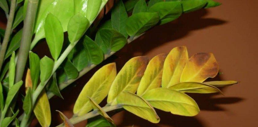 Желтеют листья у замиокулькаса