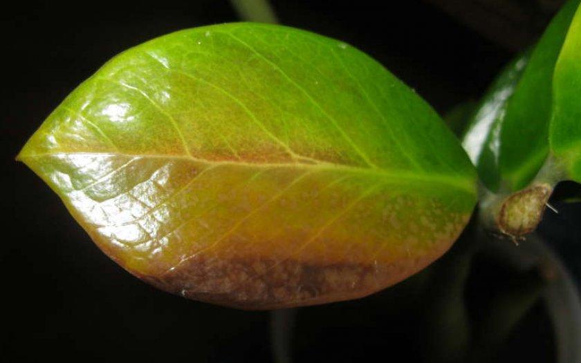 Отпадают листья у замиокулькаса