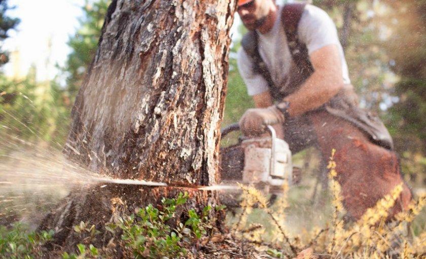 Валка крупного дерева