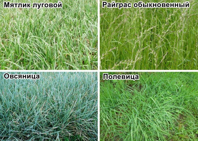 Популярные сорта травы