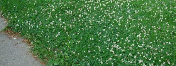 Как размножается газонная трава