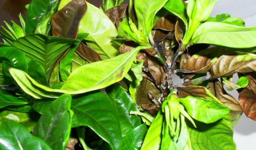 Чернеют и опадают листья