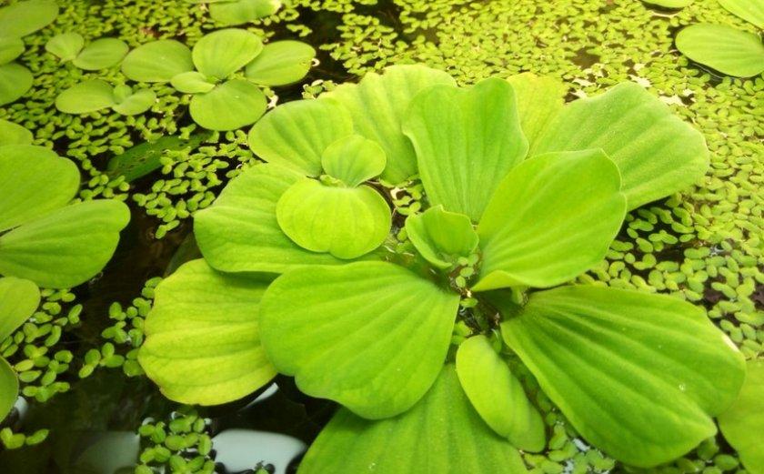 Водное растение пистия