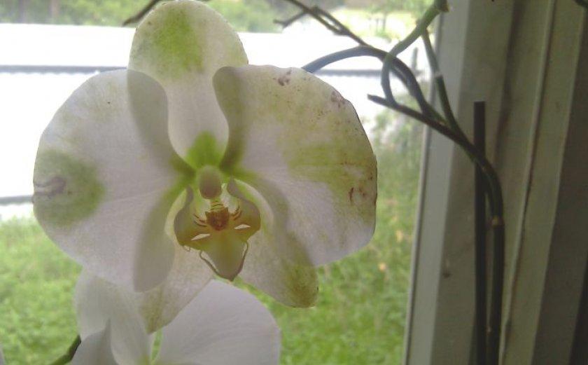 Кольцеобразные пятна на цветке