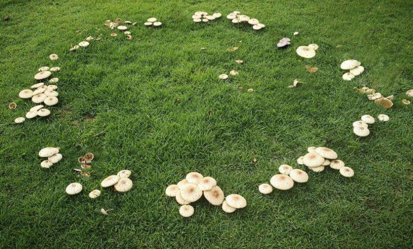 Ведьмины кольца на газоне
