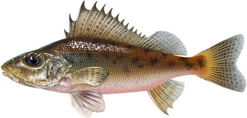 Рыба ёрш