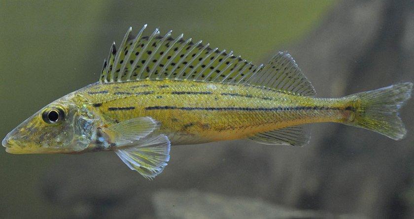 рыбка ершик картинки