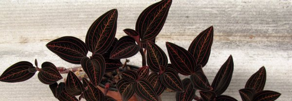Орхидея лудизия – миниатюрные цветы и яркие листья – Дачные дела
