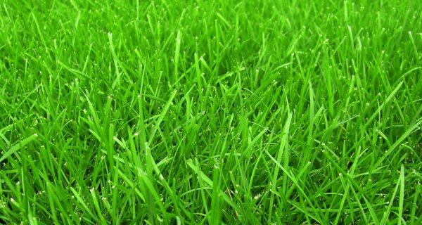 Низкорастущая газонная трава