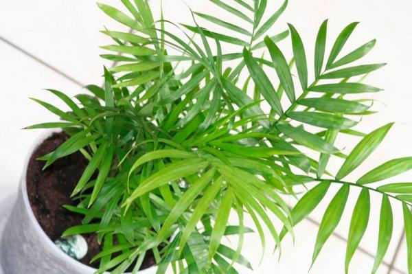 Пальма Хамедорея Элеганс выращивание и уход в домашних условиях