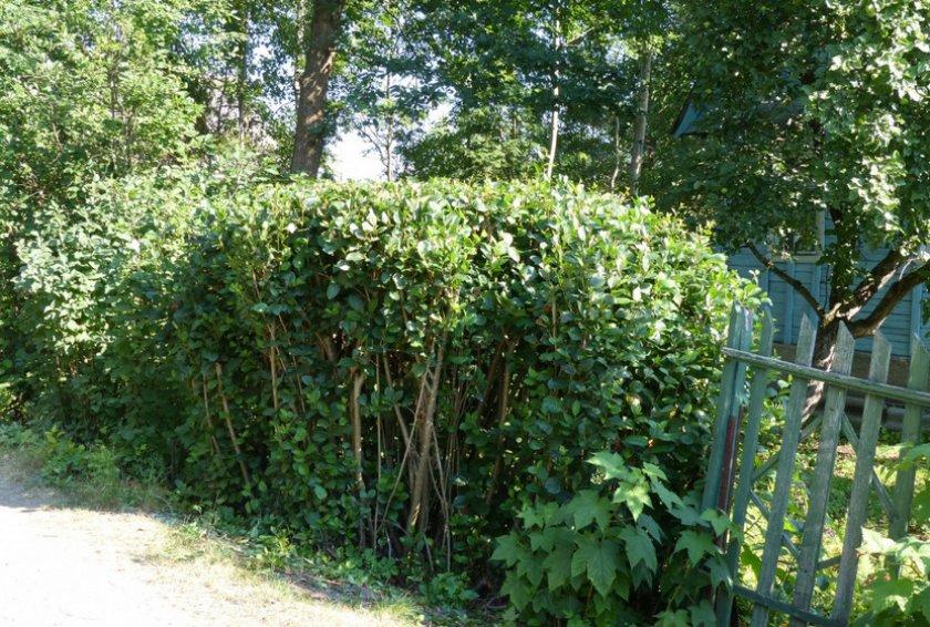 Черноплодная рябина в качестве живой изгороди