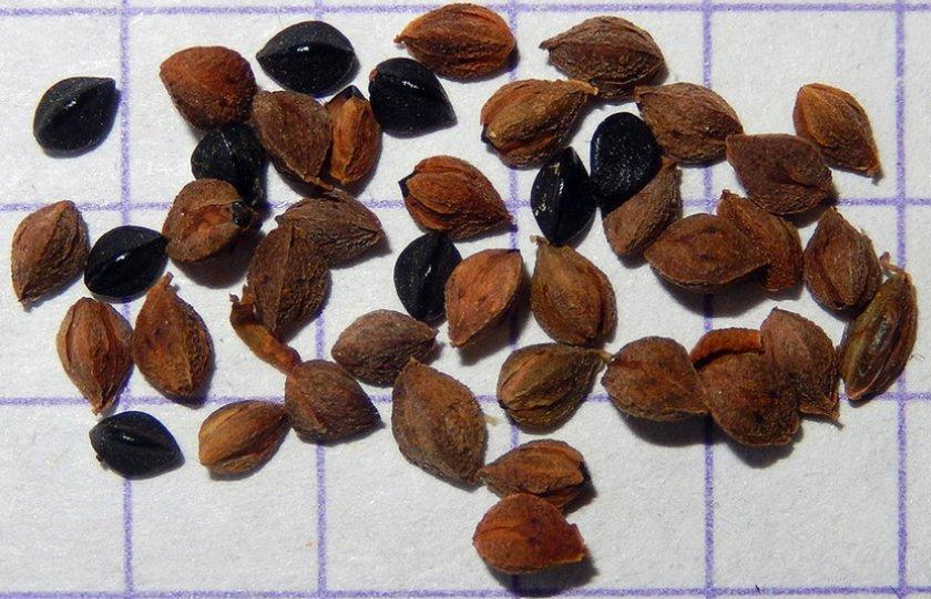 Размножение семенами