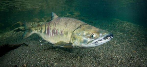 Кета рыба полезные свойства