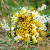 Алиссум время цветения