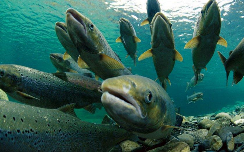 Лососёвые рыбы