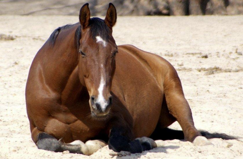 Конь лежит