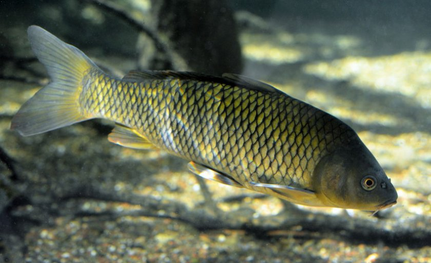 Рыба сазан