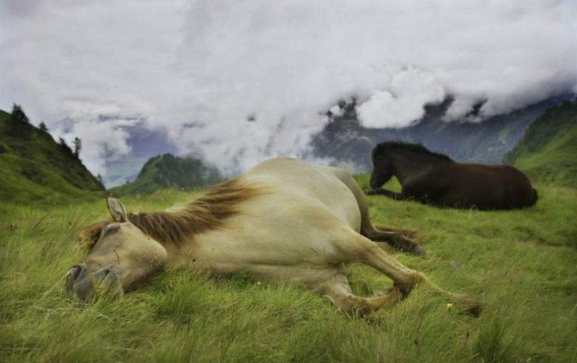 Конь спит на боку