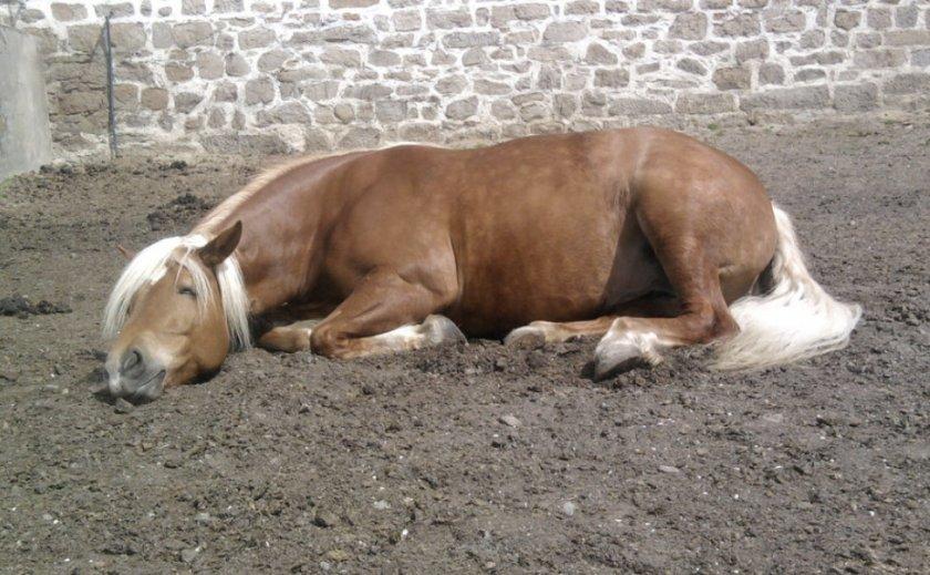 Конь спит