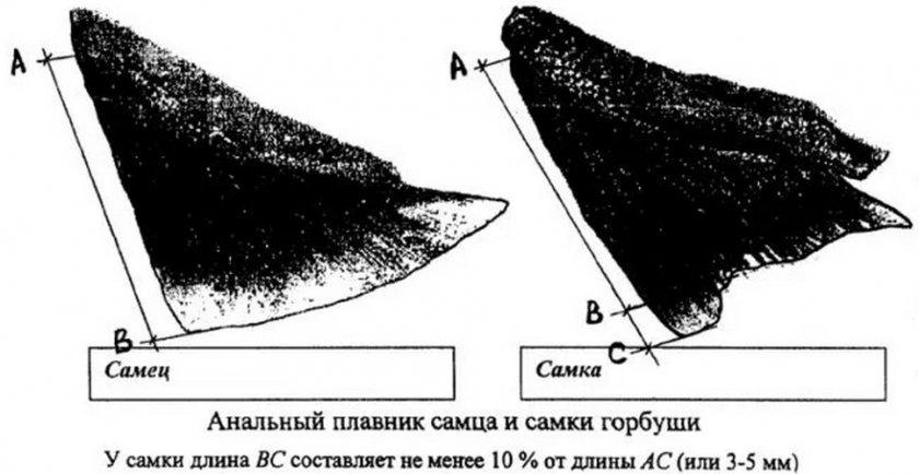 Анальный плавник самца и самки горбуши
