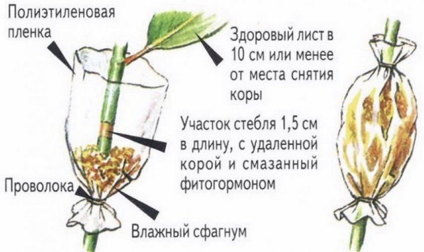 Размножение воздушными отводками