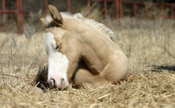 Как спят лошади: кони спят стоя или лежа, как спит пони, какие животные еще дремлют в положении стоя