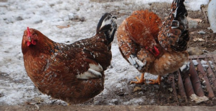 Ленинградская ситцевая курица