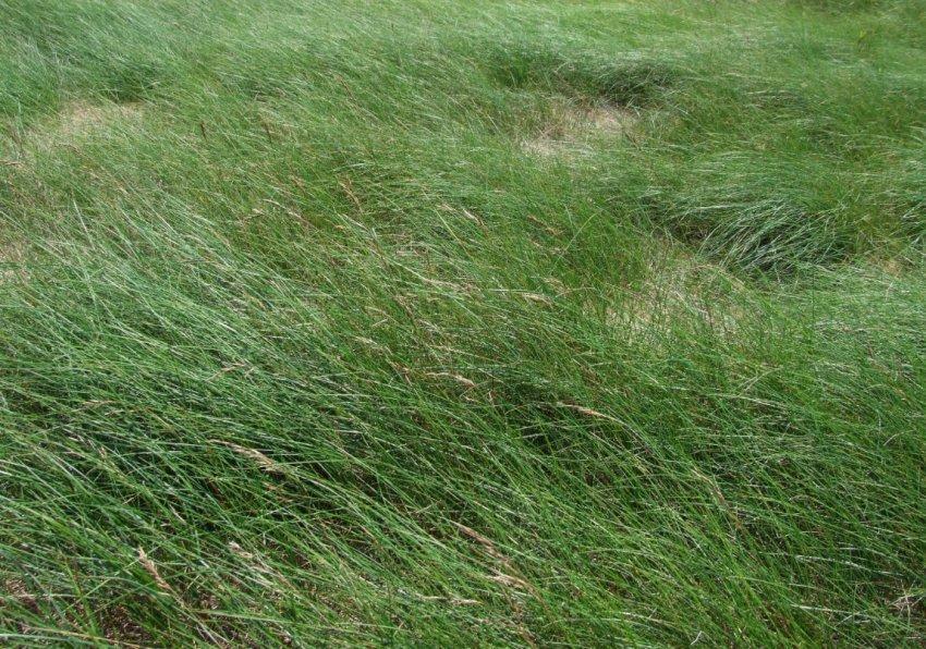 Жёсткая (Festuca rubra commutata)