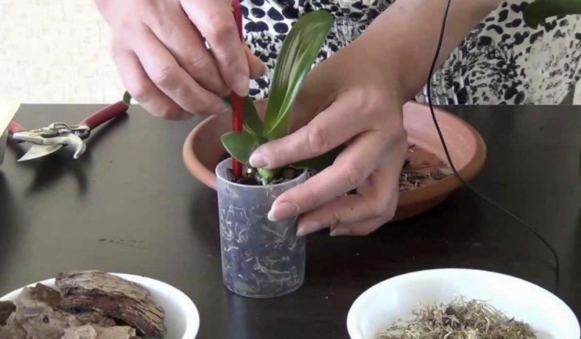 Посадка детки орхидеи