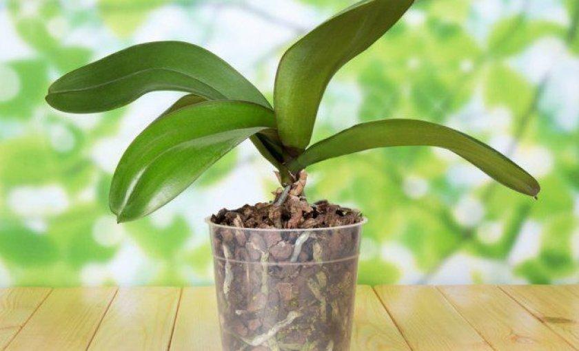 Орхидея не цветет