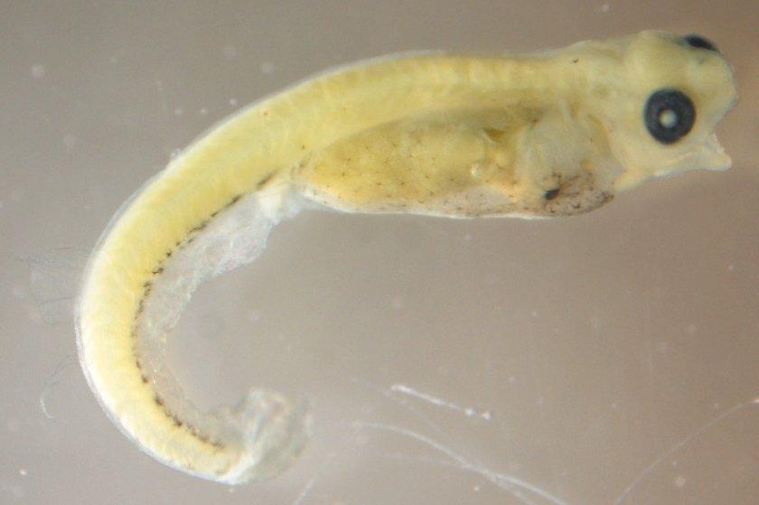 жарки эмбрион рыбы картинка фасад разбавляет
