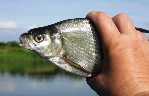Ловля леща осенью: на что ловить на реке на поплавочную удочку, когда начинается осенний жор, на что лучше клюёт рыба, как ловится с лодки в октябре