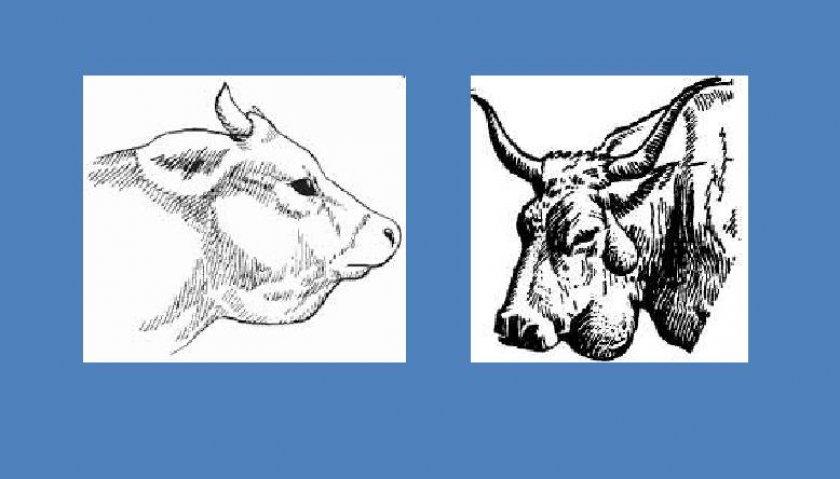 Актиномикоз у коров