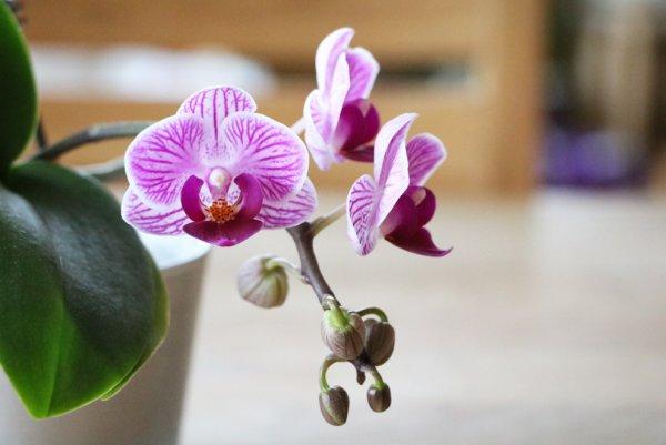 Фаленопсис не цветет что делать чтобы зацвела