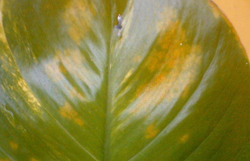 Обесцвечивание листьев, появление на них пятен