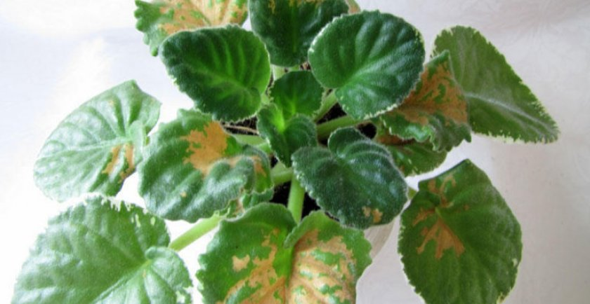 Бурые пятна на листьях фиалке