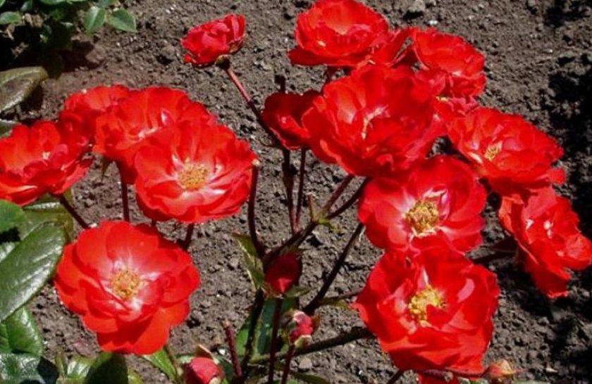 Розы сорта Border King
