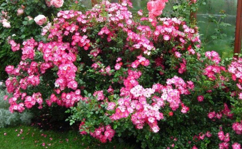 Роза сорта Lupo
