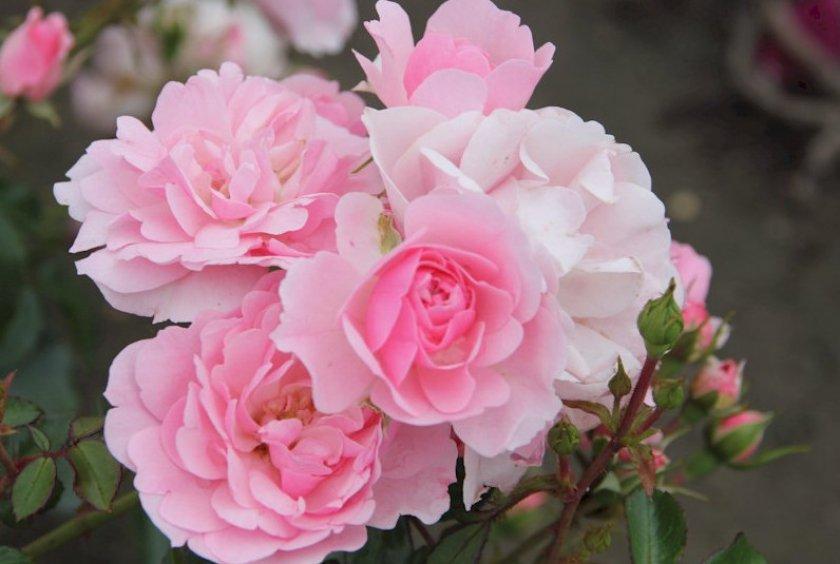 Роза сорта Bonica